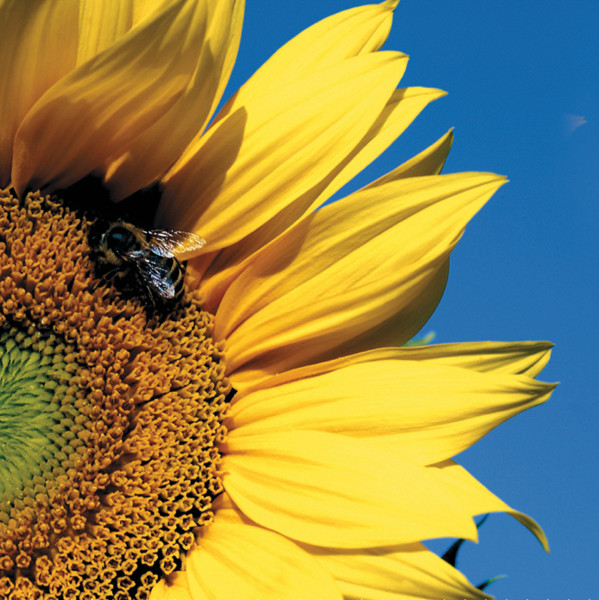 Microfasertuch mit Motiv Sonnenblume